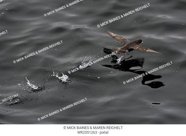 Northern fulmar (Fulmarus glacialis) taking off from a calm sea, Sakhalin Island, Russia, Eurasia