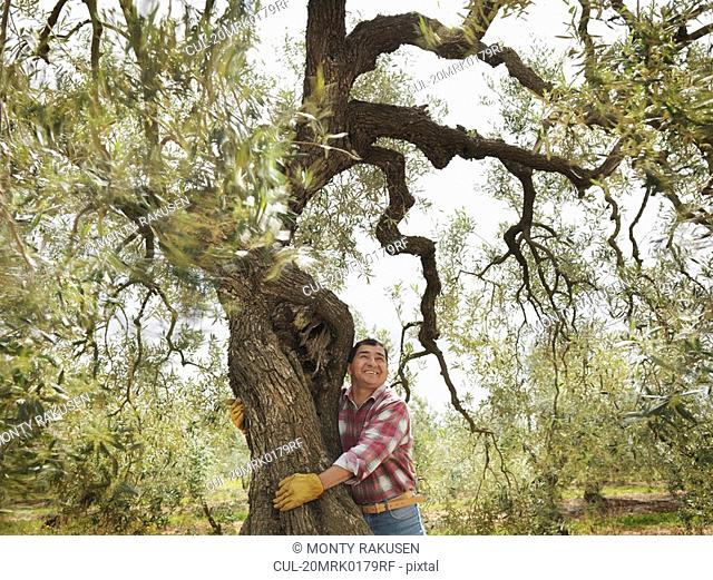 Man hugging olive tree