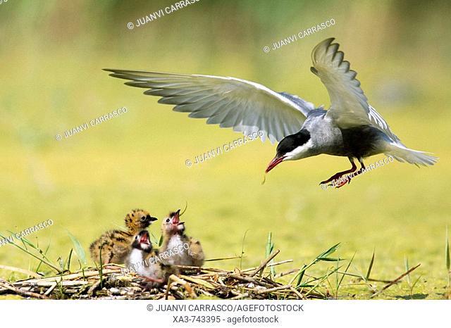 Whiskered tern , Chlidonias hybrida , feeding three chicks at nest