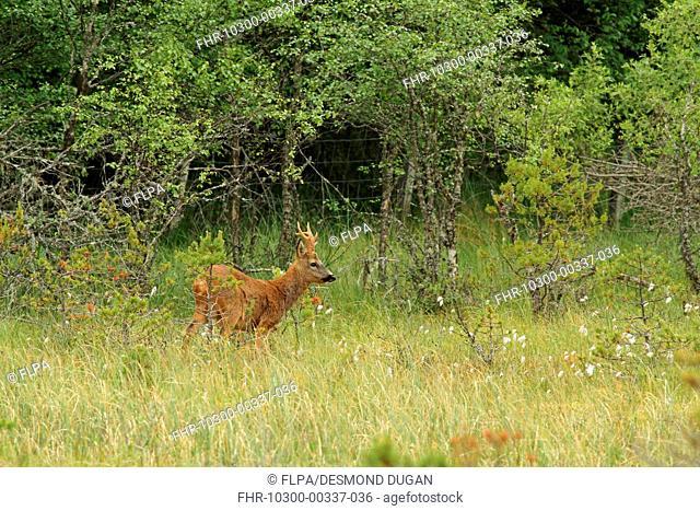 Western Roe Deer (Capreolus capreolus) buck, standing in forest bog near deer fence, Abernethy Forest, Strathspey, Cairngorms N.P