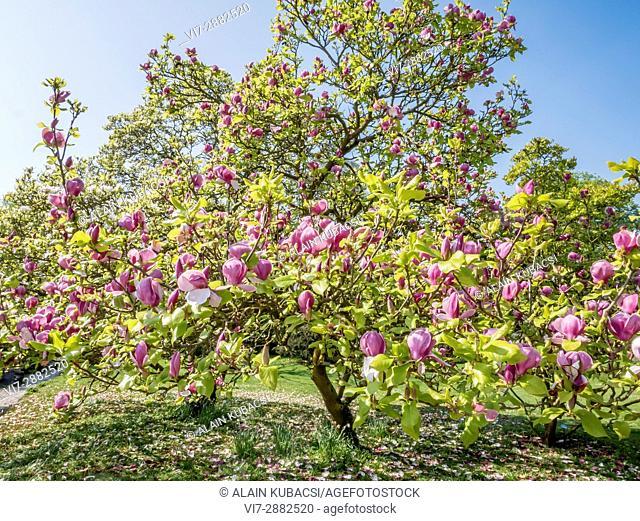 Magnolia soulangeana 'Burgundy', Ecole du Breuil, Paris, France