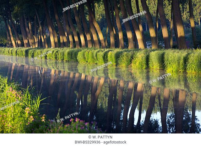 aspen, poplar (Populus spec.), poplars lining a canal, Belgium, Flanders