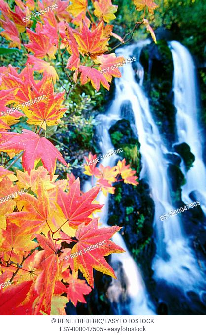 Colored vine maple leaves and Roadside Waterfall in background. Mt. Hood National Forest. Oregon. USA