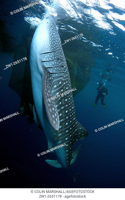 Whale Shark (Rhincodon typus) being photographed by diver while feeding at fishing raft (Bagan), Cenderawasih (Bird of Paradise) Bay, West Papua, Indonesia