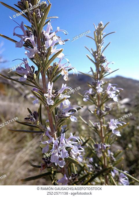 Rosemary (Rosmarinus officinalis). Catalonia, Spain