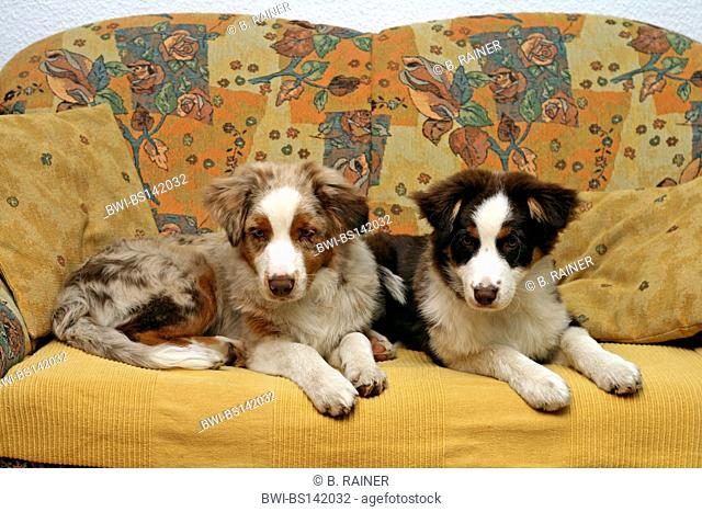 Australian Shepherd (Canis lupus f. familiaris), two dogs lying on a couch in a living room