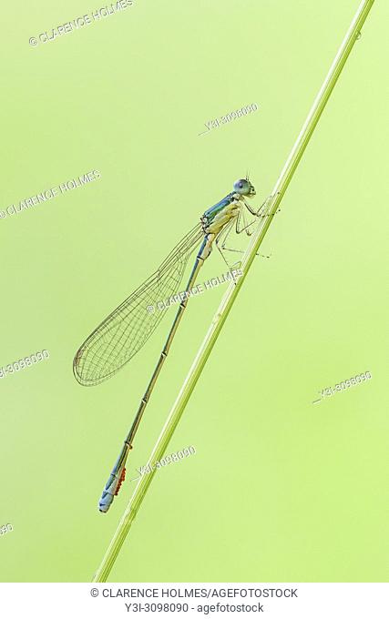 A male Sedge Sprite (Nehalennia irene) damselfly perches on a plant stem
