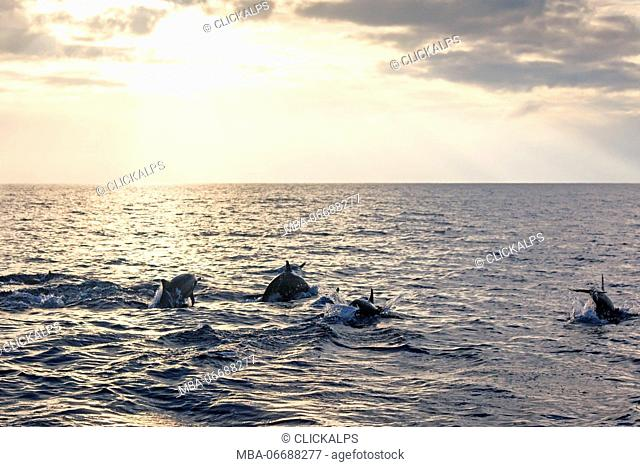 Beautiful dolphins swimming at sunrise, Philippines