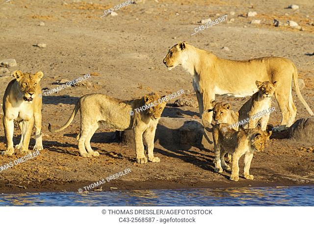 Lion (Panthera leo) - Two females with three cubs and one subadult male (front centre) at a waterhole. Etosha National Park, Namibia
