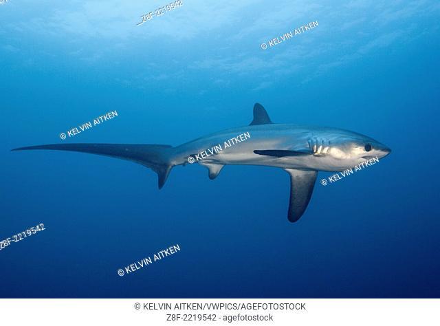 Pelagic Thresher Shark (Alopias pelagicus) Philippines Malapascua Island