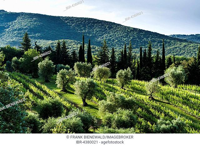 Typical green Tuscany landscape with cypresses, olive trees and wineyards, Boligheri, Tuscany, Italy