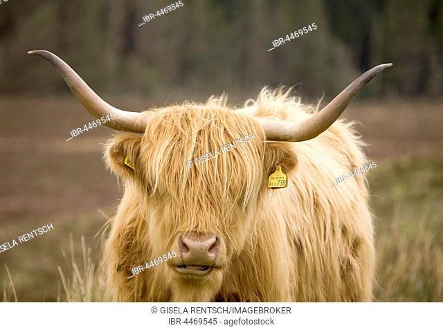Highland Cattle (Bos taurus) on a pasture, Scotland, United Kingdom
