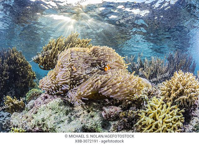 False clown anemonefish, Amphiprion ocellaris, Sebayur Island, Komodo Island National Park, Indonesia