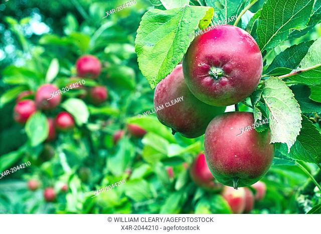 Apples and apple trees in a small garden orchard, County Westmeath, Ireland