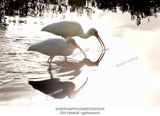 A pair of White Ibis, Eudocimus albus, skimming the water looking for food, Florida Keys, USA