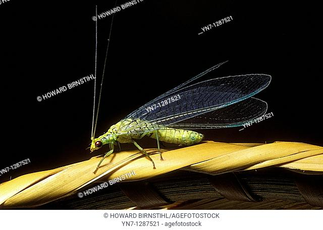 close view of lacewing insect