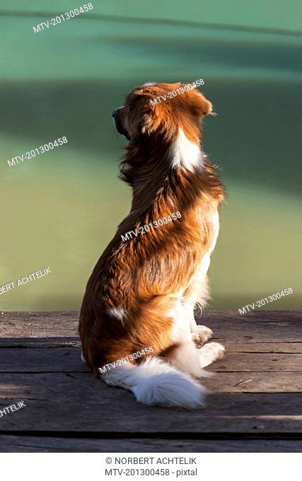 Border collie mongrel sitting on wooden bench, Orinoco Delta, Venezuela