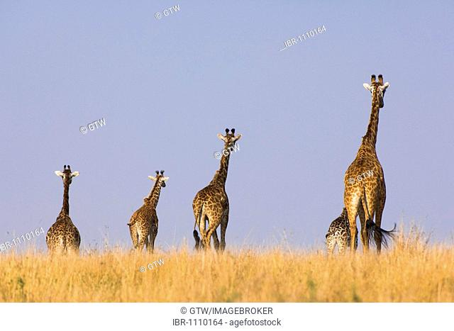 Masai Giraffes (Giraffa camelopardalis) in the savannah, Masai Mara National Park, Kenya, East Africa