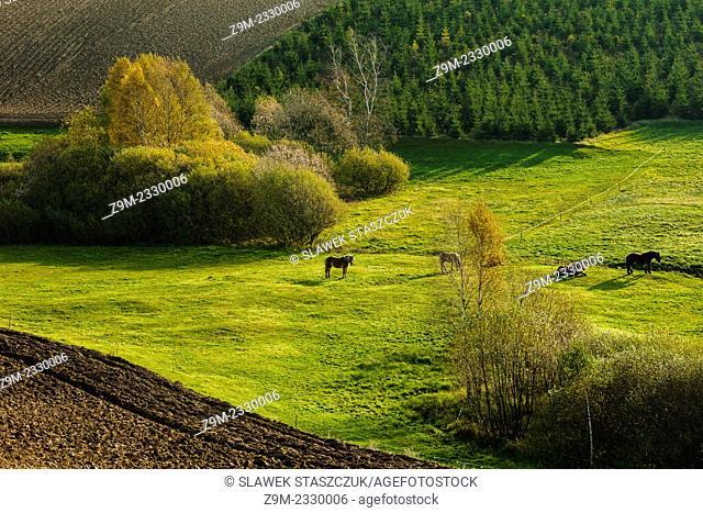 Horses grazing in Kashubian Landscape Park near Ramleje, pomorskie province, Poland