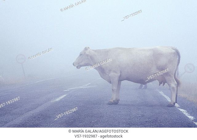 Cow standing in the way. Road in the mist. Leon province, Castilla Leon, Spain