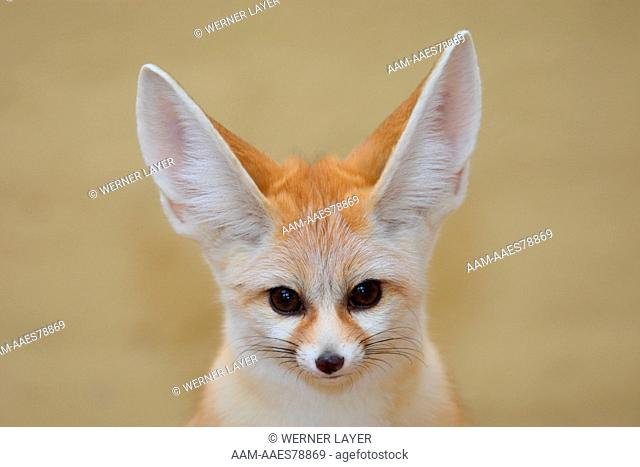 Fennec (Vulpes zerda) portrait North Africa head face eye contact