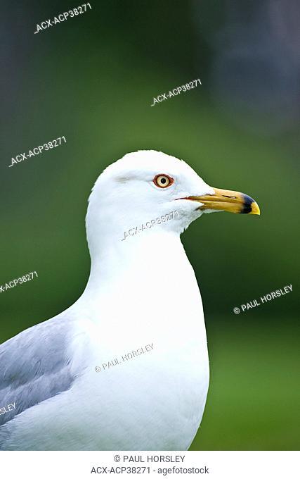 Ring-billed Gull, Larus delawarensis