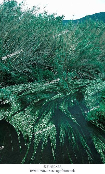 river water-crowfoot Ranunculus fluitans
