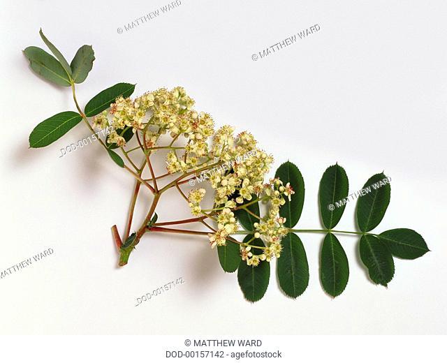 Sorbus hupehensis (Hubei rowan, Hupeh rowan), stem with leaves and flowers