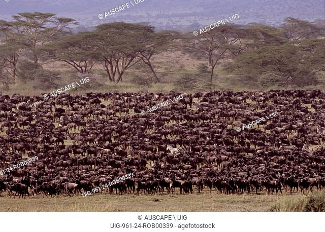 Wildebeest, Connochaetes taurinus, massing on plain during migration. Serengeti National Park, Tanzania, East Africa. (Photo by: Auscape/UIG)