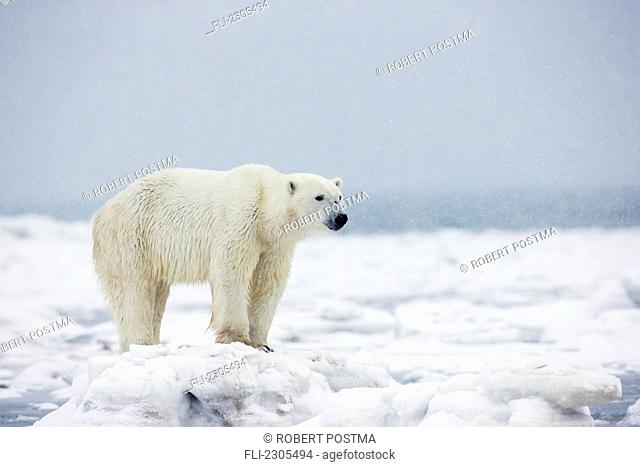 Polar Bear Standing In The Ice And Snow;Churchill Manitoba Canada