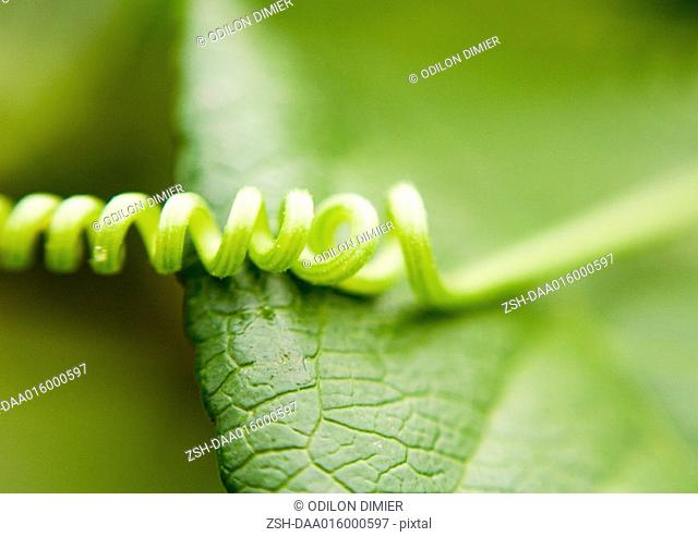 Tendril and leaf