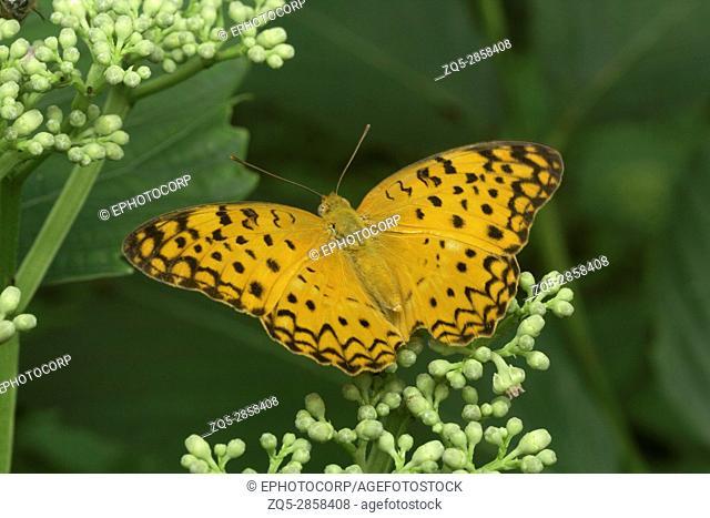 Common Leopard butterfly, Phalanta phalantha , Aarey Milk Colony , INDIA