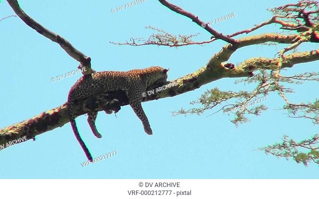 An Africa leopard lounges in a tree