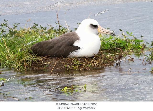 Laysan Albatross (Phoebastria immutabilis) on the nest in the water, Midway Atoll National Wildlife Refuge, Sand Island, Hawaii, USA
