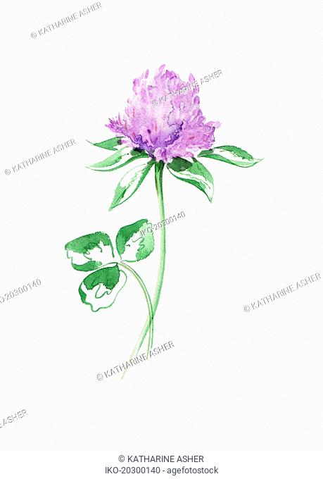 Watercolour painting of purple clover