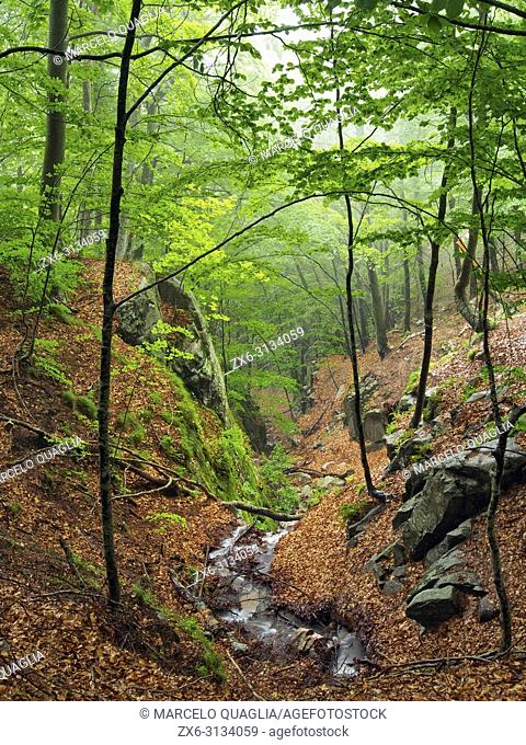 Sot de L'Obi stream. Beech tree forest (Fagus sylvatica) at spring time. Montseny Natural Park. Barcelona province, Catalonia, Spain