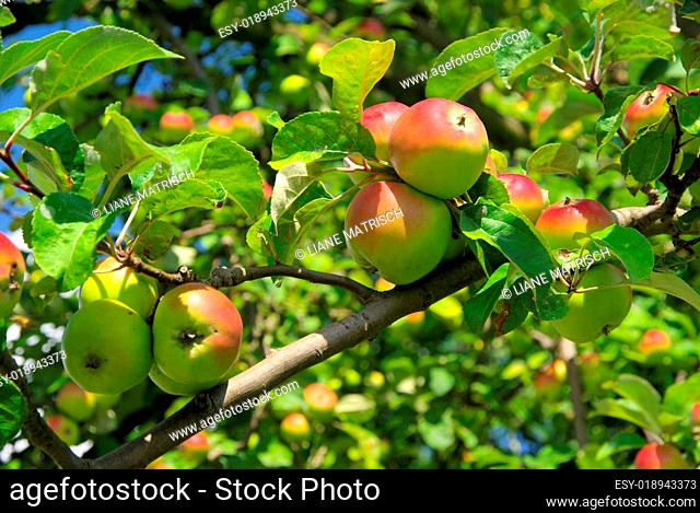 Apfel am Baum - apple on tree 109
