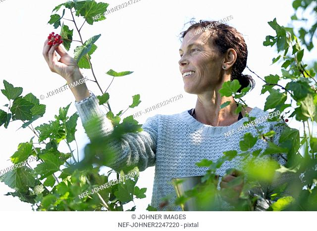 Woman picking redcurrants
