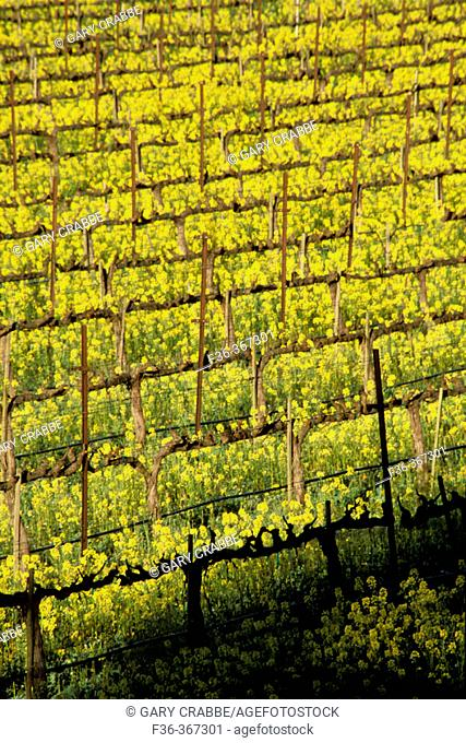Mustard flowers bloom in spring in a vineyard. Silverado Trail. Napa Valley Wine Country. California. USA