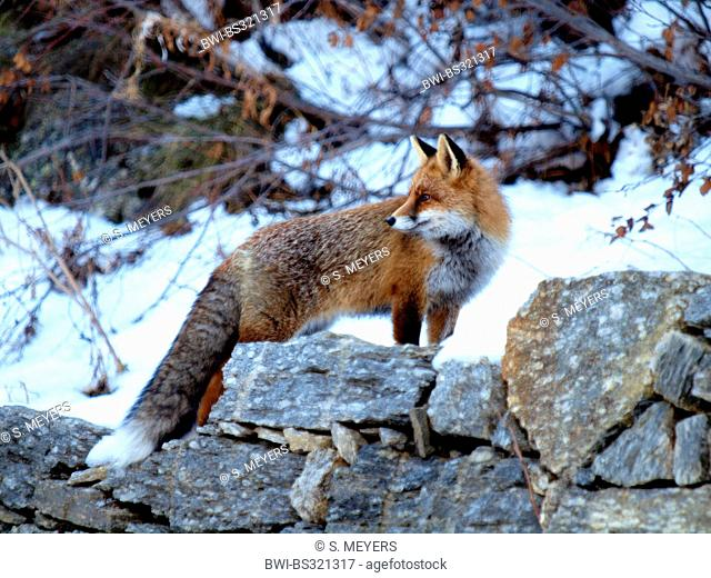 red fox (Vulpes vulpes), standing on a natural stone wall in winter , Italy, Gran Paradiso National Park, Valsavaranche