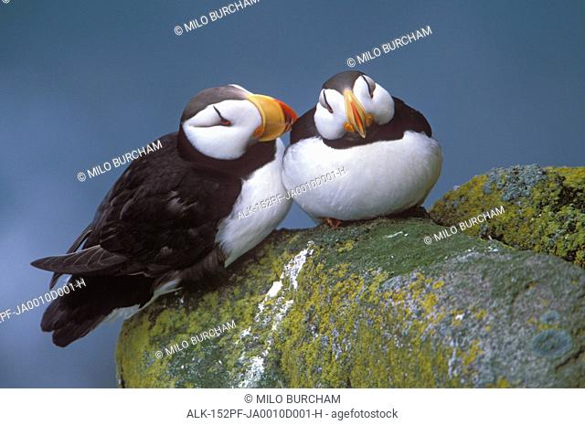 Horned Puffin pair perched on ledge, Round Island, Walrus Islands State Game Sanctuary, Bristol Bay, Southwest Alaska