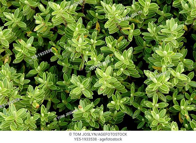 Hebe rakaiensis shrub close up, England, UK