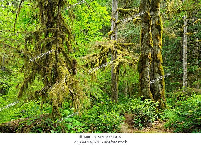 Lush old-growth and second-growth forest along the Englishman River Englishman River Falls Provincial Park British Columbia Canada
