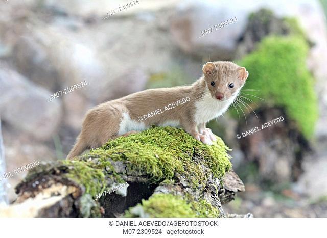 Mustela nivalis, weasel in Iberian range mountains, La Rioja wine region, Spain, Europe