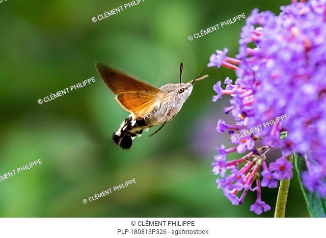 Hummingbird hawk-moth (Macroglossum stellatarum / Sphinx stellatarum) in flight feeding on Buddleja davidii flower in summer