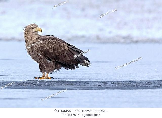 White-tailed eagle (Haliaeetus albicilla) Old bird standing on ice, winter, ice, snow, frost, Gostyni?sko-W?oc?awski Park, Poland