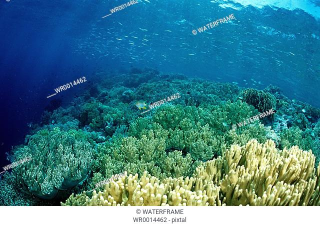 Reeftop with Soft Corals, Sinularia sp., Komodo National Park, Indian Ocean, Indonesia