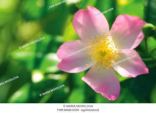 Rosa, Rose / Wild rose / Dog rose