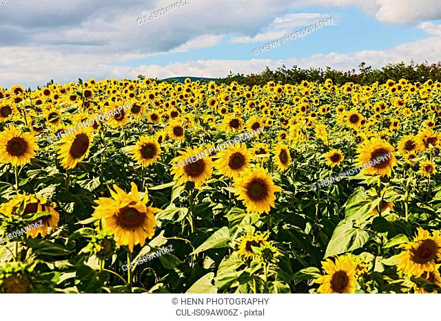 Field of sunflowers, Da Lat, Lam Dong province, Vietnam