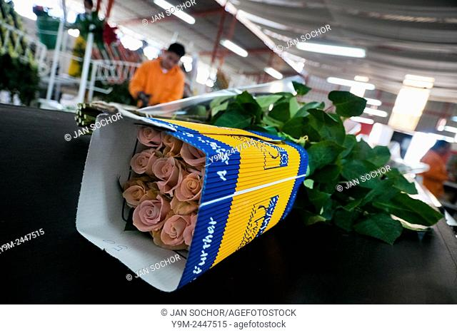 A wraped box of roses on the flow line in the packaging hall of a flower farm in Cayambe, Ecuador, 23 June 2010. South American countries (Colombia and Ecuador)...